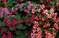 Miniature-Impatiens,-firefly-mix,-annuals-in-pack-trials,-Gilroy,-CA