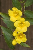 Caroline-Jessamine,-flowers,-buds,-foliage-(Gelsemium-sempervirens)-Bakersfield/CA