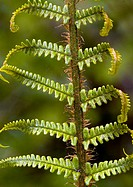 Scaly male fern (Dryopteris affinis) unfolding frond.