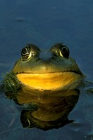 Bullfrog-/n(Rana-catesbeiana)/nEmmet-County,-Michigan