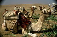 Dromedary-Camel-Train-at-Rest,-Egypt