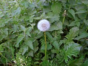 Dandelion seed head (Taraxacum officinale) amongst stinging nettles (Urtica dioica). Both these plants are widely used in herbal and Chinese medicine....