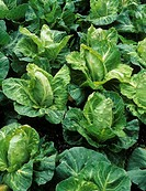 Cabbage plants (Brassica oleracea ´Greyhound´).