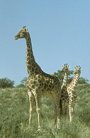 Giraffe-with-Twins-(Giraffa-camelopardalis)