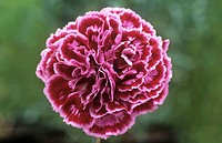 Pink flower (Dianthus ´Gran´s Favourite´). This is a tudor laced pink.