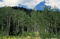 Forest, North-western Colorado, USA