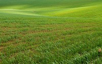Spain, Andalusia, fields of wheat, spring