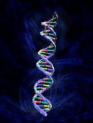 DNA molecule, computer artwork. DNA is composed of two strands twisted into a double helix. Each strand consists of a sugar-phosphate backbone (blue) ...