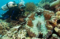 Giant clam. Diver with a giant clam (Tridacna gigas). These animals can reach up to 1.3m in length and are the world´s largest bivalves. Due to the de...