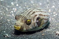 Manila pufferfish (Arothron manilensis) with cleaner shrimps. This is a symbiotic relationship, the shrimps remove parasites from the fish, which they...