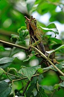 Chamaeleon Furcifer balteatus, Furcifer balteatus, Madagascar, adult male on tree