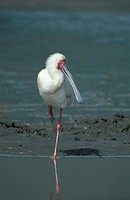 African Spoonbill, Platalea alba, Ngorongoro Crater, Tanzania, adult at water
