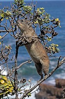 Rock Dassie, Procavia capensis, South Africa, adult on tree