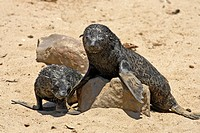 Cape Fur Seal, Arctocephalus pusillus, Cape Cross, Namibia , Africa, pups on rock