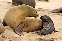 Cape Fur Seal, Arctocephalus pusillus, Cape Cross, Namibia , Africa, adult with pup social behaviour