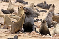 Cape Fur Seal, Arctocephalus pusillus, Cape Cross, Namibia , Africa, adult couple fighting