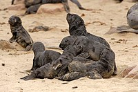 Cape Fur Seal, Arctocephalus pusillus, Cape Cross, Namibia, group of youngs