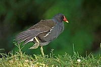 Moorhen, Gallinula chloropus, Germany, adult