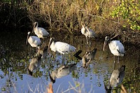 Wood Stork, Mycteria americana, Florida, USA, group of adults n water