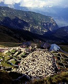 Schafscheid, sheep, Alp, animals, mountains, Alps, Belalp, Canton Valais, Switzerland, Europe, agriculture, livestock