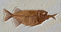 Fish Fossil - Phareodus Aspiration - Phareodus eating Knightia - Lincoln County - Wyoming - USA - 50 million years old-