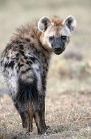 Spotted Hyena (Crocuta crocuta). Samburu National Reserve, Kenya