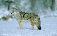 Coyote (Canis latrans). Yellowstone National Park. Wyoming. USA