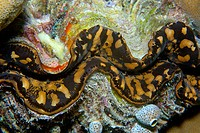 Smooth giant clam, Tridacna derasa, mantle detail, Short drop-off, Palau, Micronesia