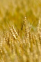 Wheat (Triticum). Wellington, Ontario, Canada