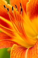 Day lily (Hemerocallis). Wellington, Ontario, Canada