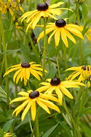 Coneflower (Rudbeckia occidentalis) 'Black Beauty'. Wellington, Ontario, Canada