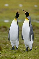 King Penguin (Aptenodytes patagonicus) Falkland Islands