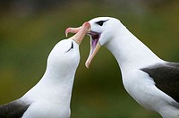 Black-Browed Albatross ( Diomedea melanophris) mating ritual. Falkland Islands