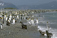 King Penguin (Aptenodytes patagonicus) and Antarctic Fur Seal (Arctocephalus gazella). Salisbury plain, South Georgia, UK