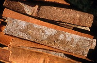 Indian cinnamon. Gujarat, India