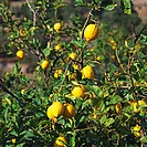 Lemons on the tree (Majorca)