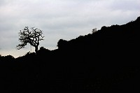 Old twisted Oak tree in silhouette on hill (Quercus robur). Cornwall, England, UK
