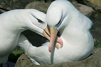 Two black-browed albatross (Diomedea melanophris) in courtship display