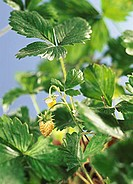 Green strawberries on the plant (1)