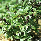 Flowering Vietnamese basil