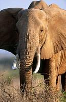 African Elephant (Loxodonta africana). Samburu National Reserve, Kenya
