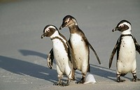 Jackass Penguin (Spheniscus demersus). South Africa