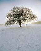 Tree, oak (Quercus robur), winter, snow, landscape, cold, blue. Röddinge, Skåne.