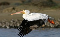 White pelican (Pelecanus erythrorhinchos) in flight along Morro Bay, CA.