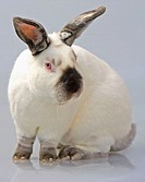Domestic Rabbit (Oryctolagus cuniculus). California breed