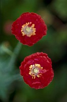Close-up of two red poppies