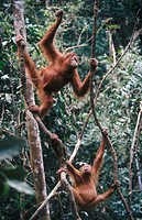 Orangutans (Pongo pygmaeus). Gunung Leuser National Park. Sumatra. Indonesia