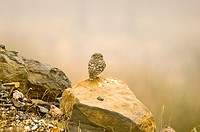 Little Owl (Athene noctua). Sierra Madrona, Ciudad Real, Spain