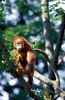 Sumatra Orangutan (Pongo pygmaeus abelii).