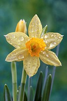 Daffodil covered in water droplets, close-up (focus on flower head)